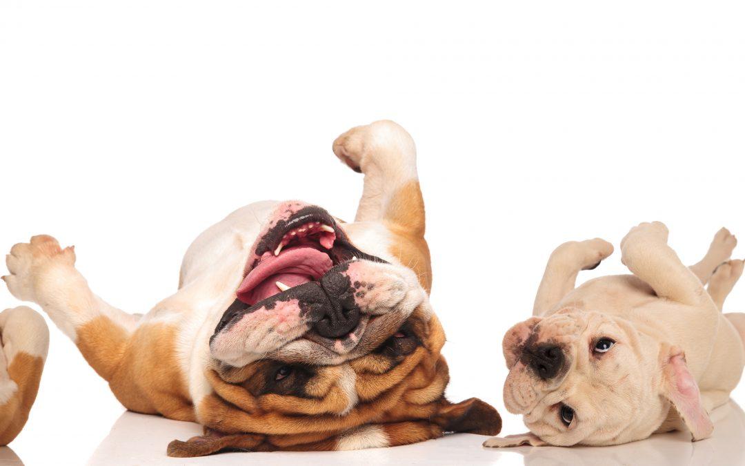 La dermatite atopique canine