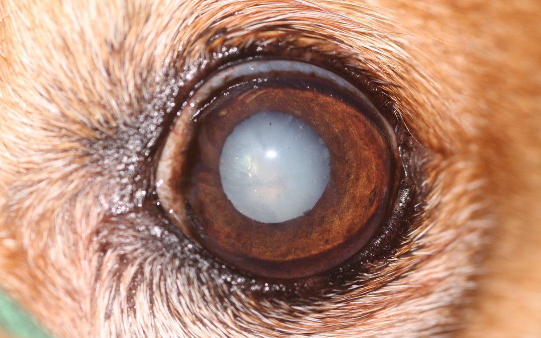 La cataracte chez le chien